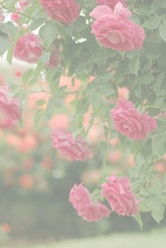 50% T transparency climbing roses