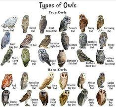 Beautiful Birds, Animals Beautiful, Owl Facts, Bird Facts, Animals And Pets, Cute Animals, Owl Species, Bird Identification, Animal Tracks