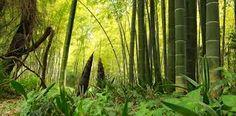 """Résultat de recherche d'images pour """"bambous"""""""