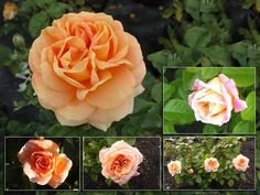 'Olds College Centennial Rose' - Dyck, Canada, 2000 - apricot double blooms produced on new wood from June to Sept.; 2'x3'; Z3