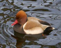 Duck bird | ... duck a bird, bird duck, about ducks, birds duck, ducks, duck bird