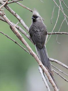 Speckled Mousebird | by jvverde