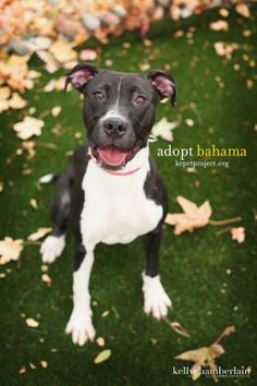 Bahama is 1 year 6 months old and a terrier/pit bull mix. Very high energy and loves to play. She is a love bug and likes to be petted if she can sit long enough. Super cute and playful! Meet her at KCPP today!