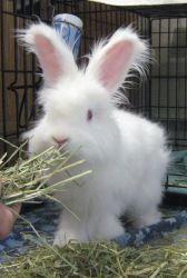Angora rabbits on Pinterest | Angora Rabbit, Wool and Rabbit