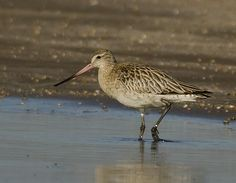 Bar-tailed Godwit at RSPB Titchwell on 6th January 2015