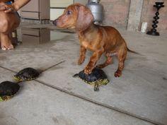 Truco e as tartarugas...