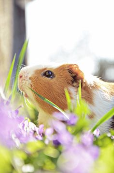 Guinea Pig. Considering owning one. They're so adorable and seem like amazing little companions.