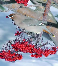 Cedar Waxwing With Mountain Ash Berries