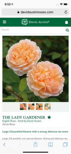Austin Rose, Shrub Roses, David Austin, Shrubs, Bloom, Flowers, Plants, Shrub, Plant