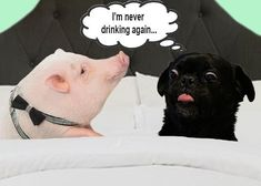 Kilo the Pug and Dozer the Pig the morning after the office Christmas Party- oops. Funny Dog Memes, Funny Dogs, Office Christmas Party, Dog Stories, Office Parties, Hound Dog, The Office, Best Dogs, Pugs