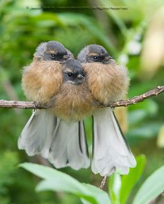 Threes a crowd | Juvenile Fantails | omakiwi | Flickr