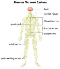 32 Best Peripheral Nerve Injury images   Physical therapy