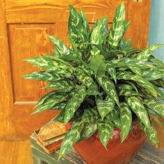 Chinese Evergreen  This plant has great foliage; the leaves are punctuated with shades of silver, gray, or shades of green making Chinese evergreen an attractive choice to brighten low-light areas of your home. Take a cue from shopping mall plantings and use Chinese evergreen as a ground cover around an upright, treelike houseplant. Or showcase it alone as a specimen plant.