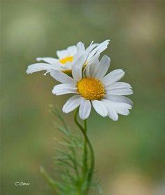 You do things… Daisy Flower Photos, My Flower, Flower Art, Flower Power, White Flowers, Beautiful Flowers, Sunflowers And Daisies, Daisy Love, Flower Wallpaper