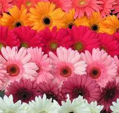 Gerberas, mini-assorted colors (70 stems)