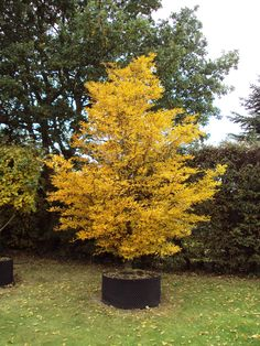 Common Name: Fernleaf Beech,  Scientific Name: Fagus sylvatica 'Asplenfoia',  Hardiness Zone: 5,  Height: 50',  Spread: 40'
