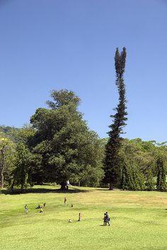 The Royal Botanical Garden, Peradeniya, Kandy, Sri Lankacom) Sri Lanka, Lasy, Places Worth Visiting, Tropical Gardens, Old Trees, Island Nations, Tree Sculpture, Tree Forest, Travel Plan