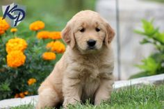Buffy – Golden Retriever Puppies for Sale in PA | Keystone Puppies