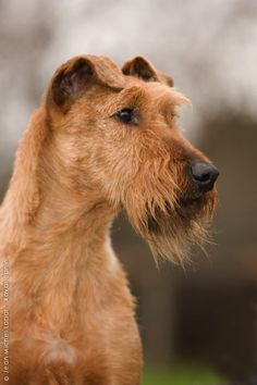 Irish Terrier - the cutest dogs ever Airedale Terrier, Irish Terrier, Terrier Dogs, Fox Terriers, Love My Dog, Big Dogs, Cute Dogs, Dogs And Puppies, Weimaraner