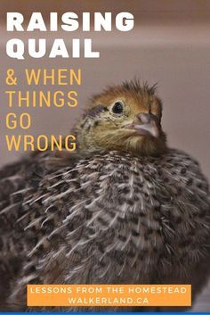 We love caring for animals on our homestead but sometimes things do go horribly wrong. Here are some real life lessons in raising quail. Raising Quail, Raising Chickens, Raising Goats, Quail Coop, Chicken Swing, Guinea Fowl, Quail Eggs, Building A Chicken Coop, Mini Farm