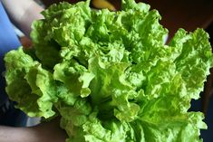 Lettuce is one of the easiest vegetables you can grow. In most cases, lettuce is grown for its sweet-tasting leaves. But these tasty leaves can turn bitter very quickly and spoil all the fun. Here in this post, we will discuss why your lettuce leaves can turn bitter and what... Bitter Lettuce, Veg Dishes, Cooking For Beginners, Growing Veggies, Lettuce Leaves, Learn To Cook, Vegan Recipes, Vegetarian, Tasty
