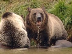 Bears still and again at the mercy of the Feds #SaveTheBears
