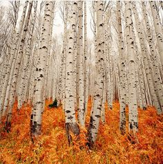 Not sure where this is, but the birch and orange color in nature are quite beautiful.