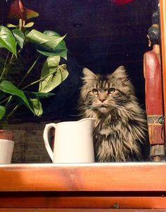 #Cats  #Cat  #Kittens  #Kitten  #Kitty  #Pets  #Pet  #Meow  #Moe  #CuteCats  #CuteCat #CuteKittens #CuteKitten #MeowMoe      Good morning Kitten provided by @MiddletonOllie ;) ...   https://www.meowmoe.com/43254/