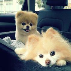 I love fluffy dogs..they make u wanna hug them sooooo much
