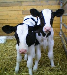 Learn all about baby cows and calves! Are you looking to have a baby cow as a pet? Find out what you need to know about cows and tons of cool cow facts! Baby Farm Animals, Baby Cows, Animals And Pets, Cute Animals, Baby Elephants, Wild Animals, Cow Pictures, Animal Pictures, Farm Animal Coloring Pages