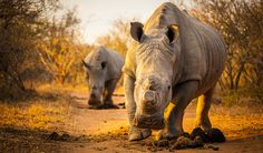 TIL 80 rhinos headed for Australia in bold move to save species