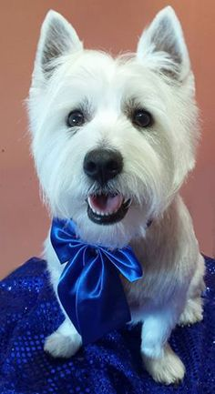 Eddie the Westie Dog Groomed by Shauna at Mutley Makeovers Tamworth