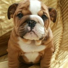 Bulldog puppy, how cute!