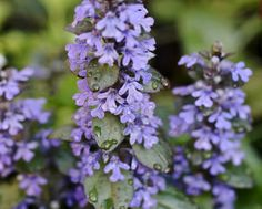 """The Last Leaf Gardener: For my Ajuga and Her """"unacknowledged"""" Friends"""