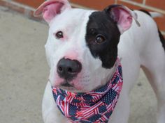 TO BE DESTROYED - 07/13/14 Brooklyn Center -P My name is DILLINGER aka BABY. My Animal ID # is A0958825. I am a neutered male white and black pit bull mix. The shelter thinks I am about 2 YEARS old. ** $200 donation to the NEW HOPE rescue that pulls** I came in the shelter as a OWNER SUR on 06/10/2014 from NY 10473, owner surrender reason stated was MOVE2PRIVA. https://www.facebook.com/photo.php?fbid=820855371260677&set=a.611290788883804.1073741851.152876678058553&type=3&theater