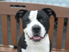 Brooklyn Center BRUNO – A1043748 NEUTERED MALE, BLACK / WHITE, AM PIT BULL TER, 5 yrs OWNER SUR – ONHOLDHERE, HOLD RELEASED Reason PERS PROB Intake condition EXAM REQ Intake Date 07/12/2015