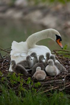 """The male swan, called the cob, helps the female, known as a pen, to look after their babies, called cygnets until they are a year old. The young don't spend more than one day in the nest once they hatch."" Animals - mom.me"