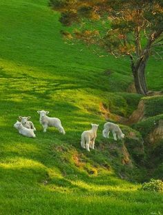 Spring Lambs on Spring Grass | Content in a Cottage