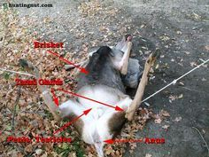 How to field dress a deer. *Warning- Graphic Photos* Step by Step Instructions & Follow Along Pictures.