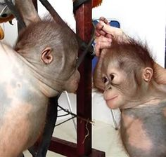 Want to hang out? See baby orangutans meet for first time in adorable video Baby Orangutan, Second Baby, See Picture, Hanging Out, My Eyes, Feel Good, First Time, Cute Babies, Kittens