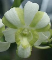 Liberty orchid