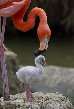 A flamingo tending to its chick. Chicks don't start to look like flamingos for a while after birth; the strange beak develops at two weeks and full adult plumage may not develop for five years. Pretty Birds, Love Birds, Beautiful Birds, Animals Beautiful, Cute Baby Animals, Animals And Pets, Funny Animals, San Diego Zoo, Pink Bird