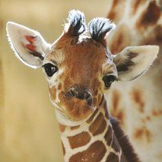 Baby Boy Giraffe Up Close