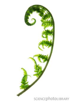 Fern frond - Stock Image - Fern frond - fern and nautilus mirror image-like tattoo<br> Leaf Tattoos, Sleeve Tattoos, Fern Images, Hanya Tattoo, Aquarell Tattoo, Ferns Garden, Fern Frond, Beste Tattoo, Botanical Illustration