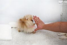 Doing high five with your little four legged princess. - Tap the pin for the most adorable pawtastic fur baby apparel! You'll love the dog clothes and cat clothes! Micro Teacup Puppies, Tiny Puppies, Cute Puppies, Cute Dogs, Teacup Chihuahua, Cute Baby Animals, Animals And Pets, Funny Animals, Cute Pomeranian