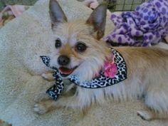 Crystal is an adoptable Terrier Dog in San Jose, CA. Greetings, My name is Crystal. I am a happy,fun loving dog that is ready to go exploring! I am enjoying my walks in the sunshine and love to play w...