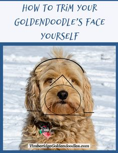 See more ideas about Dog grooming, Dog grooming pets and suggestions. How to keep your house tidy when you have a canine - tips on cleaning animal. Goldendoodle Haircuts, Goldendoodle Grooming, Mini Goldendoodle Puppies, Dog Haircuts, Poodle Grooming, Yorkie, Goldendoodles, Labradoodles, Standard Goldendoodle