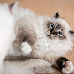 It's time for fight club birman style! Tabby brothers @caesar_and_conrad know just how to do it  #birmans #birman #sacredbirman #heligbirma #birmania #birmanie #pyhäbirma #instabirmans #birmansofinstagram #blueeyes #whitecats #fluffycats #instacats #catsofinstagram #cats #kittens #instakittens #kittensofinstagram #lovecats #birmavanner #tabbycats #toocute #beautifulcats #excellentcats #tortiecats #cutepetclub #bruntabby #sealtabby #wednesdaywhiskers