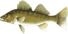 Mountain Anglers -- The Walleye