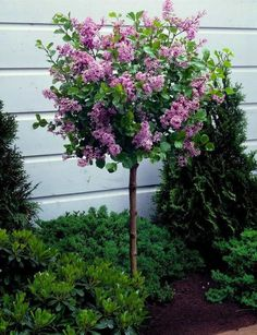 Beautiful Dwarf Lilac Trees For Your Garden - - Gardeners with limited space find dwarf lilac trees a good way to enjoy the beauty of lilacs. These trees are good for those who want to conserve their garden's space. Dwarf Korean Lilac Tree, Dwarf Lilac Tree, Dwarf Trees For Landscaping, Small Front Yard Landscaping, Hydrangea Landscaping, Trees For Front Yard, Patio Trees, Front Fence, Flowering Trees